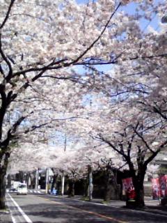 桜のトンネルです